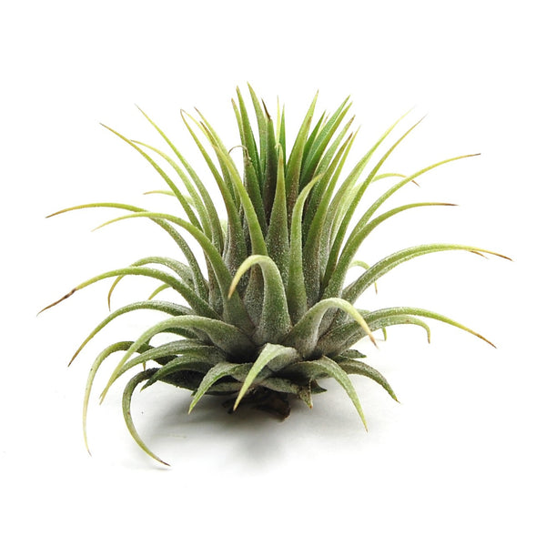 SALE - Ionantha Rubra - Set of 10 or 20 Air Plants - 40% Off