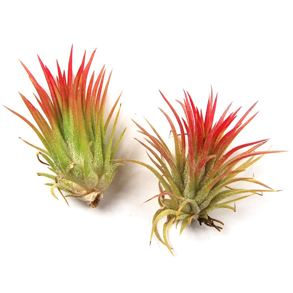 In Blush Now - Ionantha Fuego Air Plants