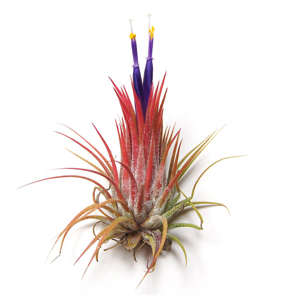 Set of 3 or 5 Ionantha Guatemala Air Plants - Save up to 25%