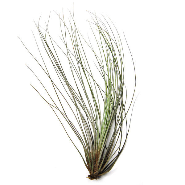 Wholesale Large Juncea Air Plants /  8-12 Inch Plants