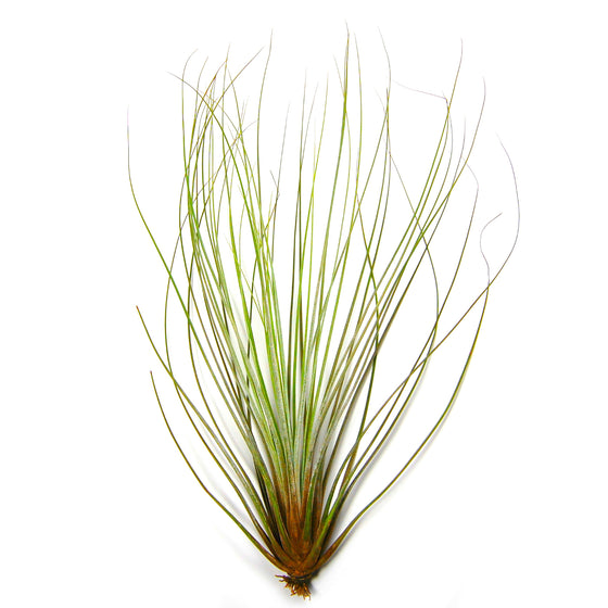 Wholesale - Tillandsia Juncifolia Air Plants