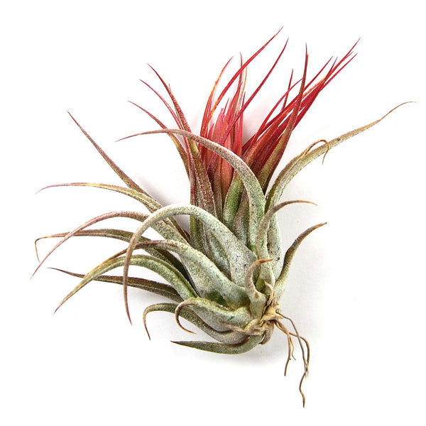 SALE - Air Plant Collection of Ten Tiny Tillys - Includes Scaposa, Rubra, and Guatemalan - 60% Off
