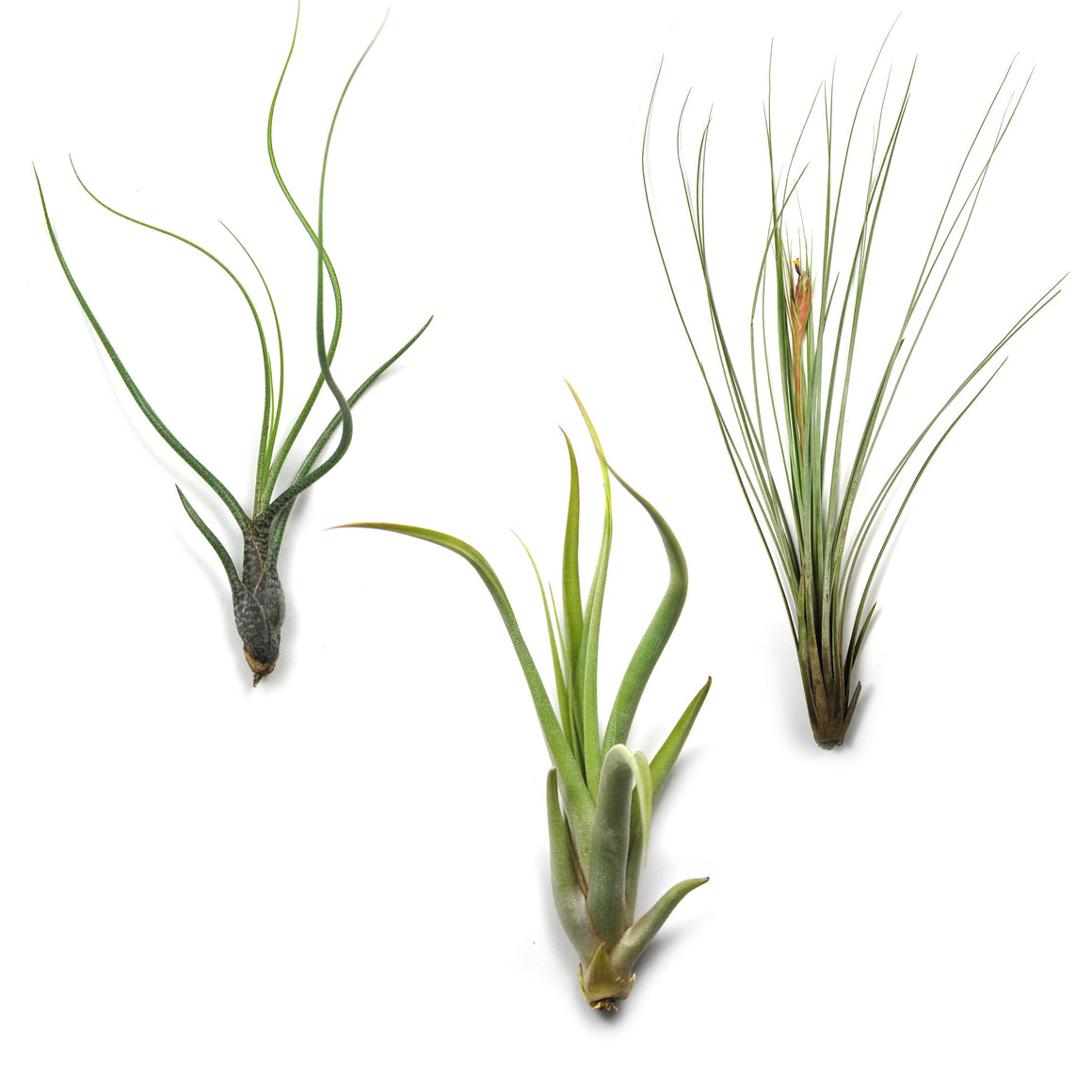 SALE - Long & Lovely Collection - Set of 9 or 18 Air Plants - 50% Off
