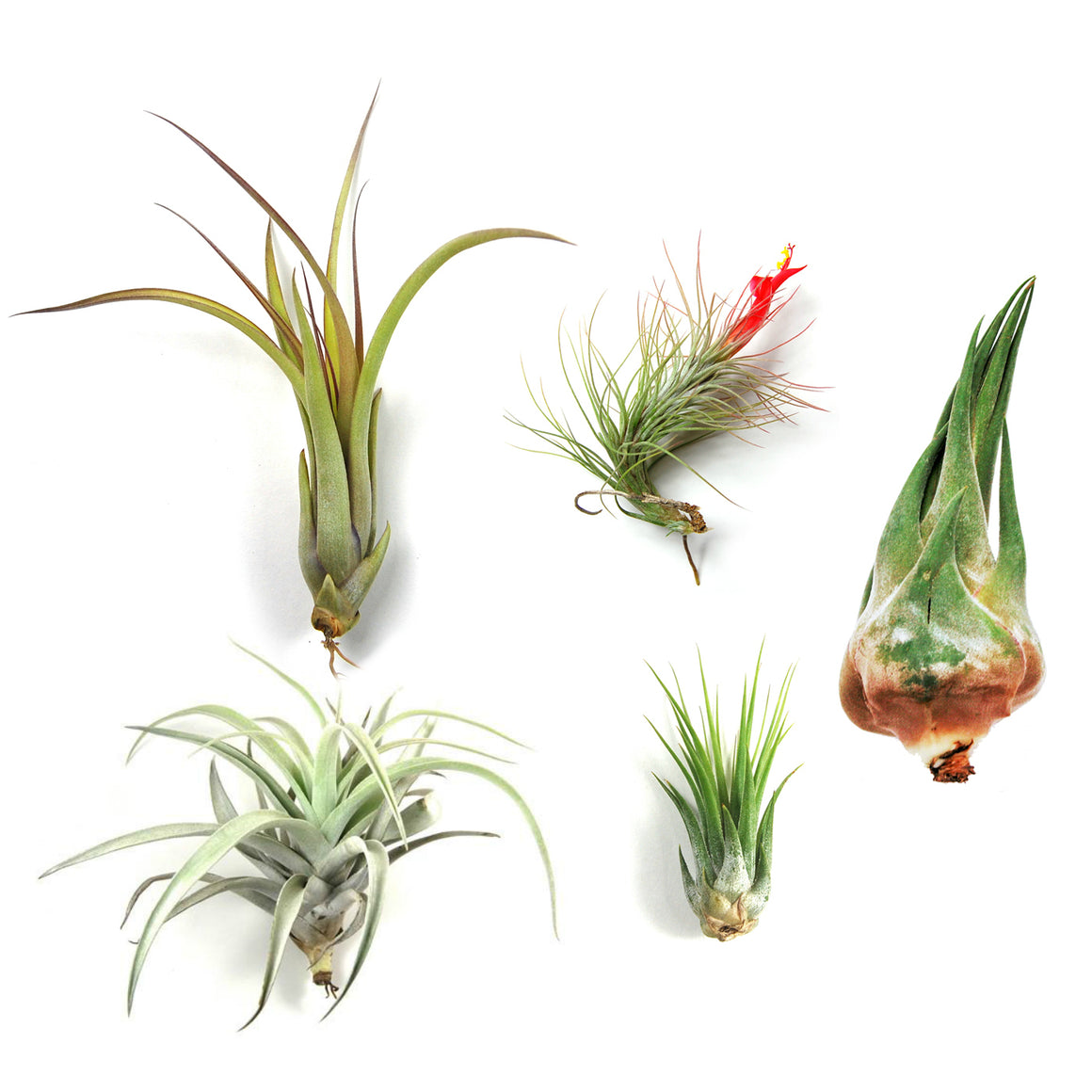 Wholesale - The Mayan Collection of Tillandsia Air Plants