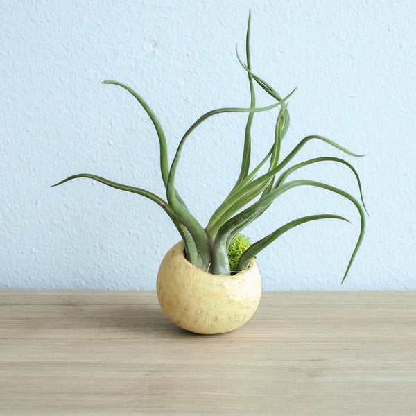 Gift Wrapped Natural Seed Pod Container with Custom Tillandsia Air Plant
