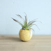Natural Seed Pod Containers with Custom Tillandsia Air Plants