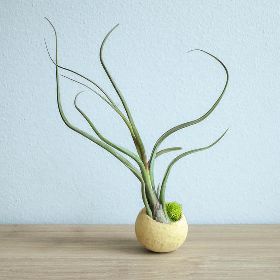 Wholesale - Natural Seed Pod Containers with Custom Tillandsia Air Plants
