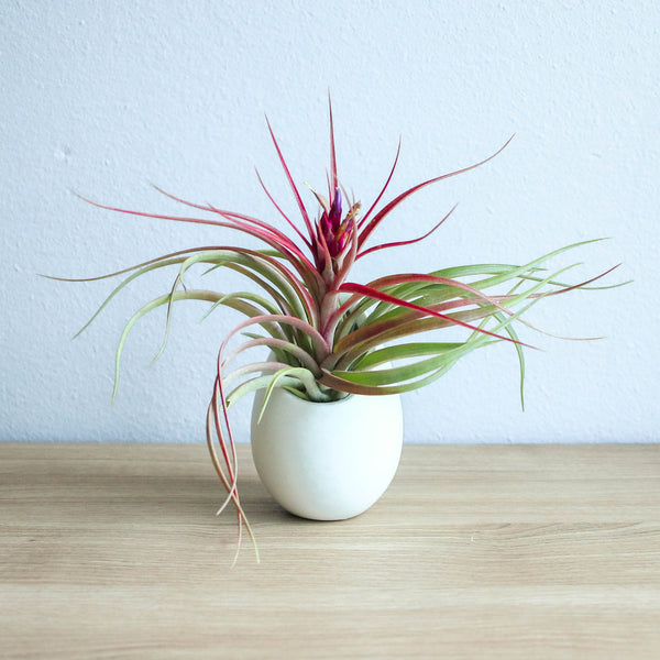 Wholesale - Large Ivory Ceramic Container with Custom Tillandsia Air Plant