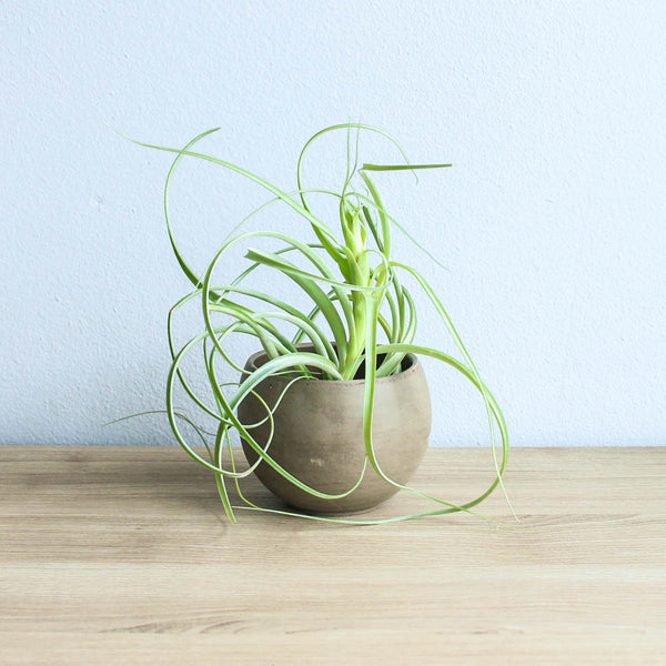Set of 2 Charcoal Clay Containers with Custom Tillandsia Air Plants