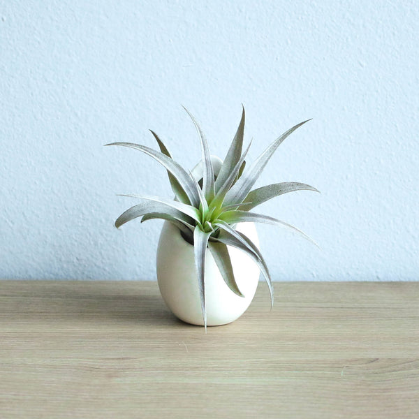 Wholesale - Small Ivory Ceramic Container with Custom Tillandsia Air Plant
