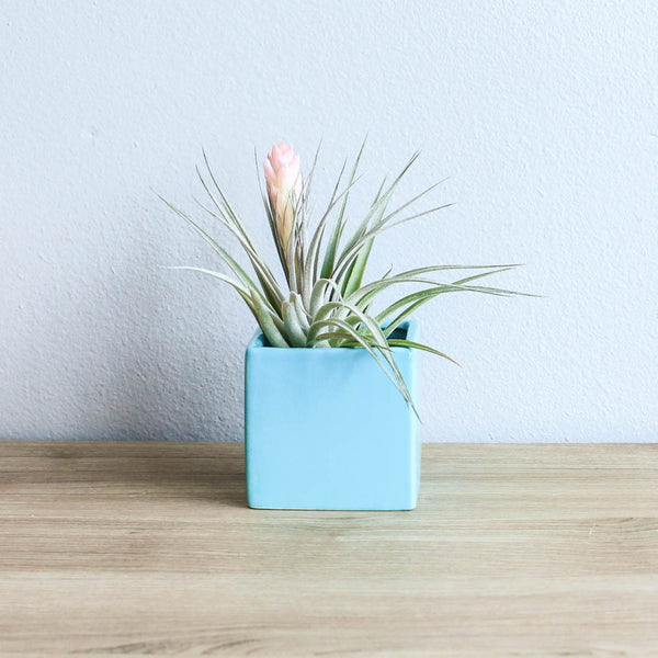 Wholesale - Sky Blue Cube Container with Custom Tillandsia Air Plant