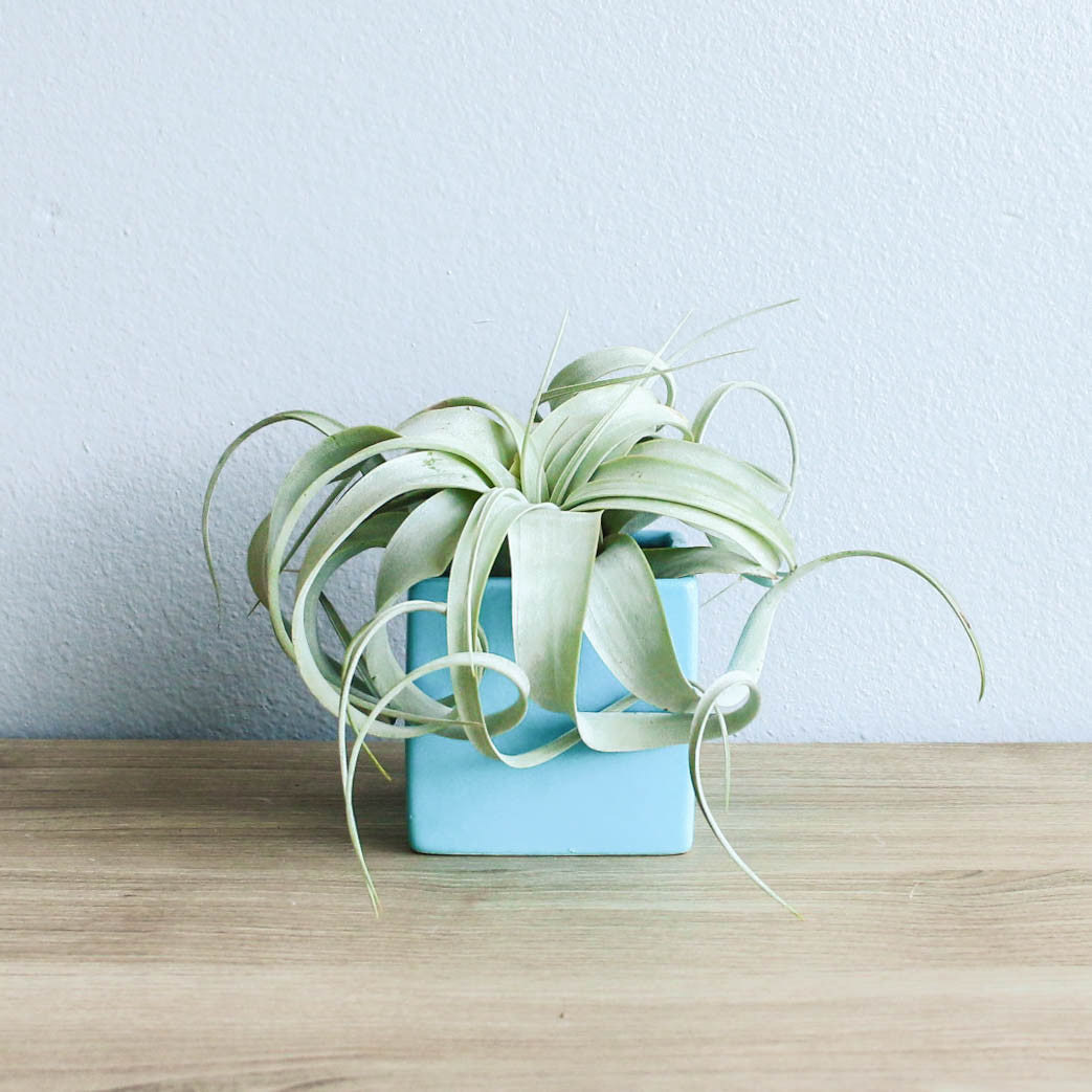 sky blue cube container with custom tillandsia air plant air plant supply co. Black Bedroom Furniture Sets. Home Design Ideas