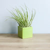 Avocado Green Cube Container with Custom Tillandsia Air Plant