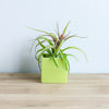 Air Plant Supply Co. Signature Colors Container Set with Custom Tillandsia Air Plants / Avocado Green + Naranja Orange