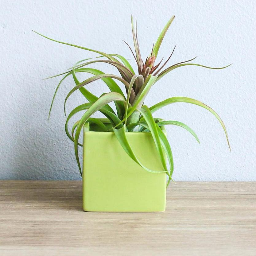 Wholesale - Avocado Green Cube Container with Custom Tillandsia Air Plant