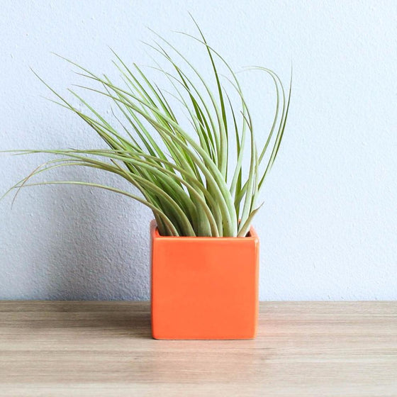 Naranja Orange Cube Container with Custom Tillandsia Air Plant