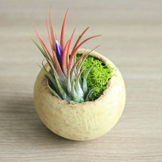 Wholesale - Natural Seed Pod Container with Ionantha Air Plants