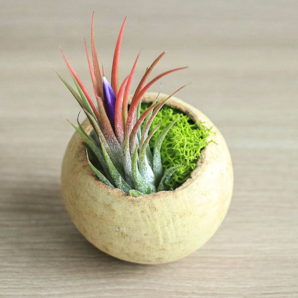 Natural Seed Pod with Ionantha Air Plant