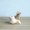 Pink Murex Seashells with Ionantha Air Plants