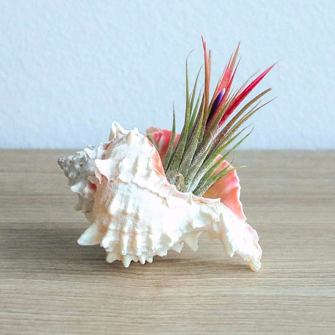 Pink Murex Seashell with Ionantha Air Plant