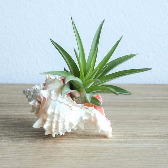 Pink Murex Seashell with Velutina Air Plant