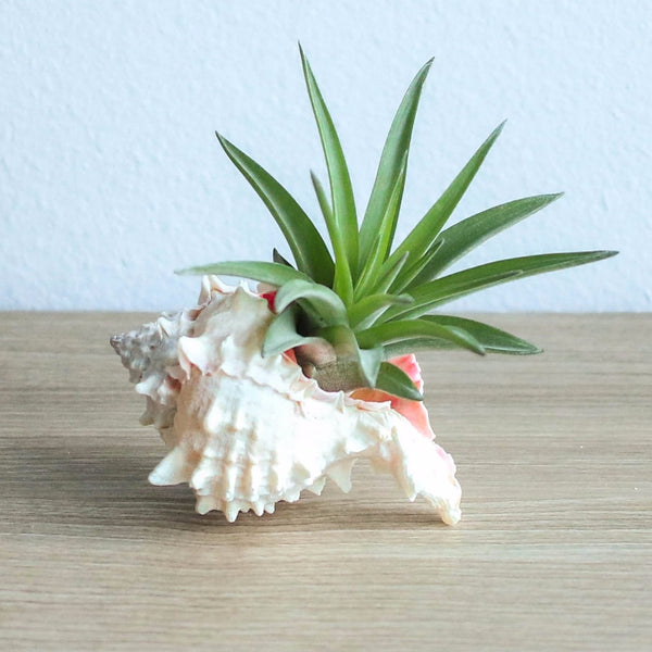 Wholesale Pink Murex Seashell with Velutina Air Plant