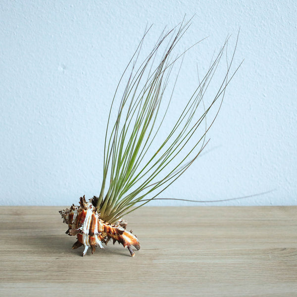 Longspine Murex Seashells with Abdita, Juncea, & Stricta Hybrid Air Plants