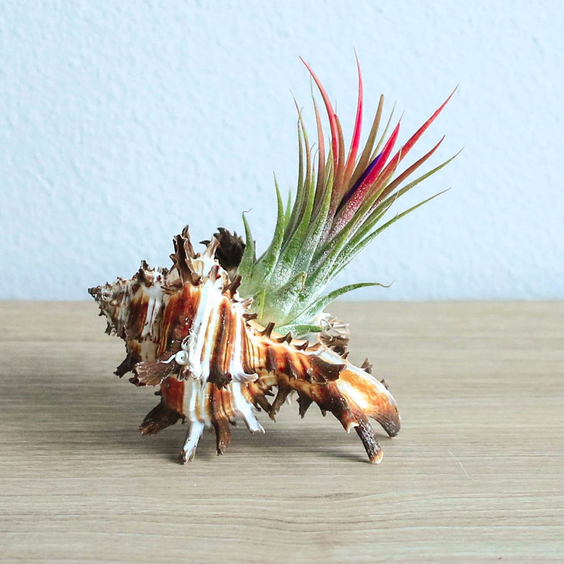 Longspine Murex Seashell with Ionantha Air Plant