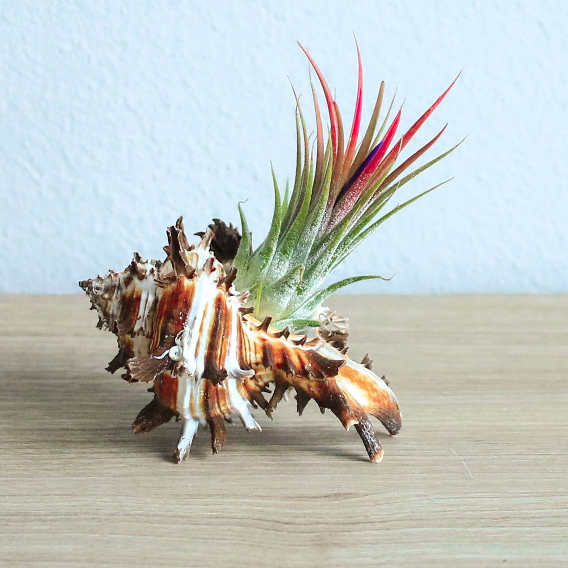 Wholesale - Longspine Murex Seashell with Air Plants