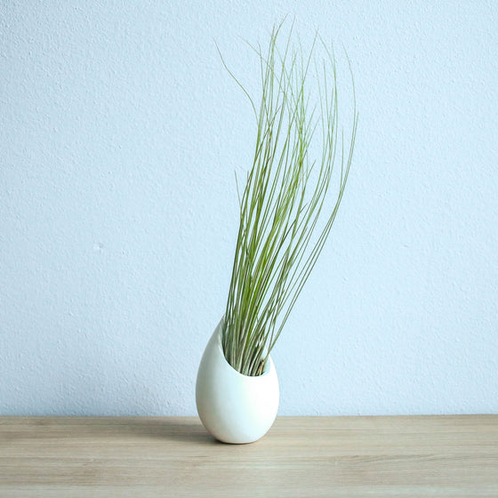 Wholesale - Small Ivory Ceramic Vase with Juncifolia Air Plants