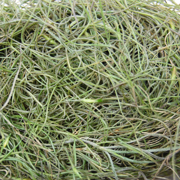 Wholesale Live Spanish Moss (Usneoides) - 1 to 1.5 Foot Strands