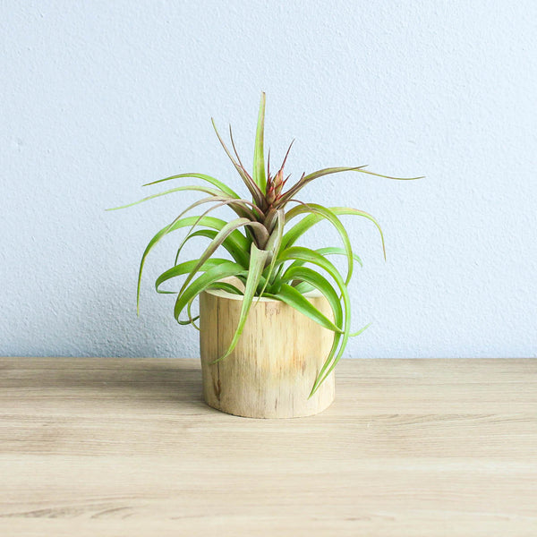 Modern Driftwood Air Plant or Succulent Container