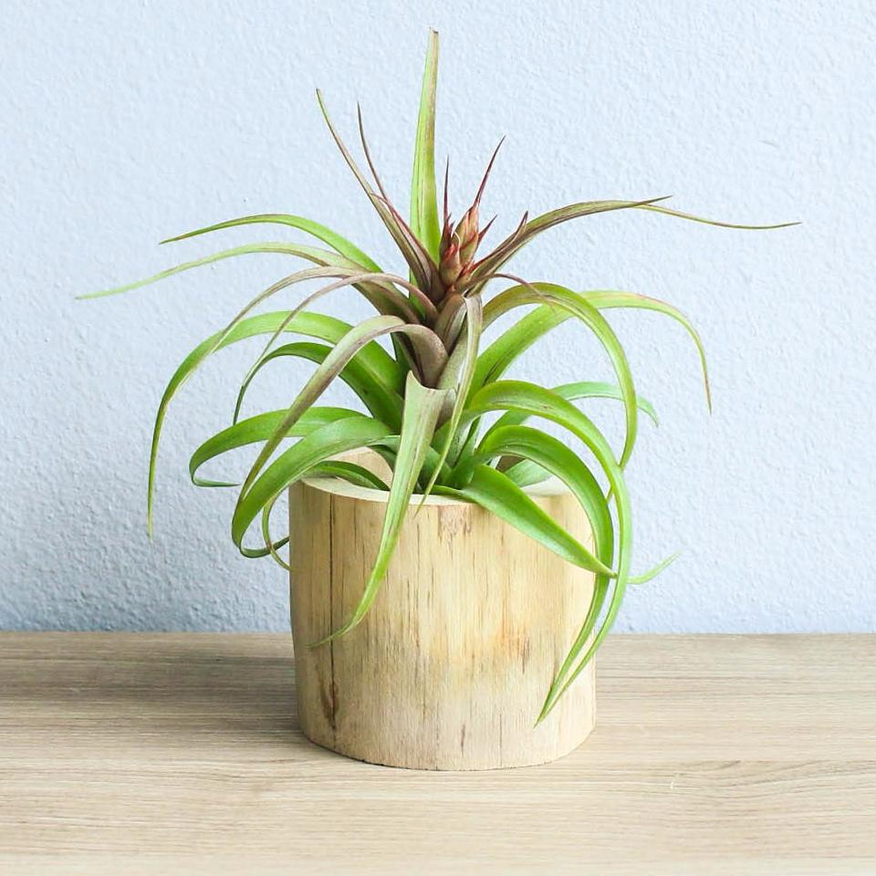 Wholesale - Modern Driftwood Container with Custom Tillandsia Air Plant