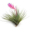 In Bud Now - Stricta Soft-leaf Air Plants