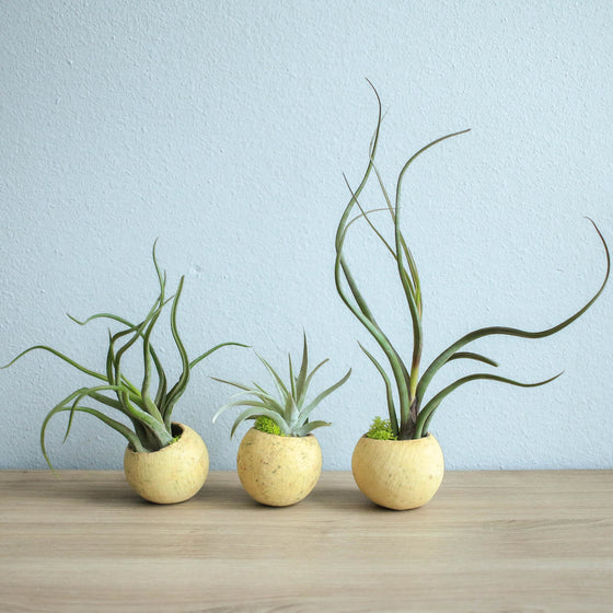 Wholesale - Natural Seed Pod Containers with Caput Medusae, Baileyi, and Harrissi Air Plants