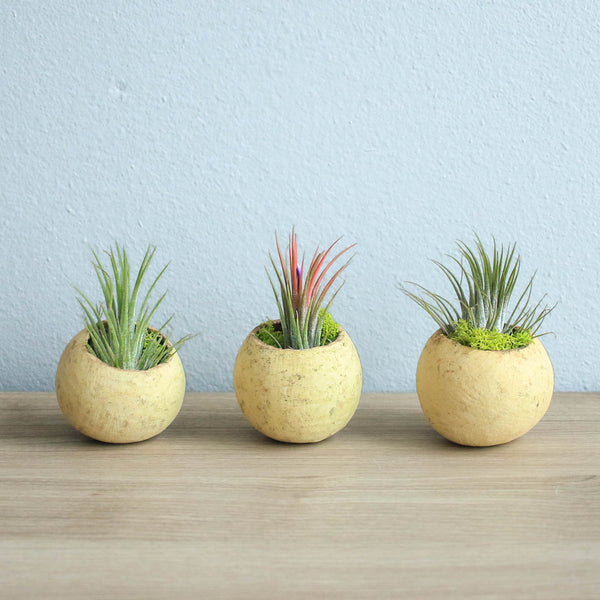 Natural Seed Pod Containers with Ionantha Air Plants