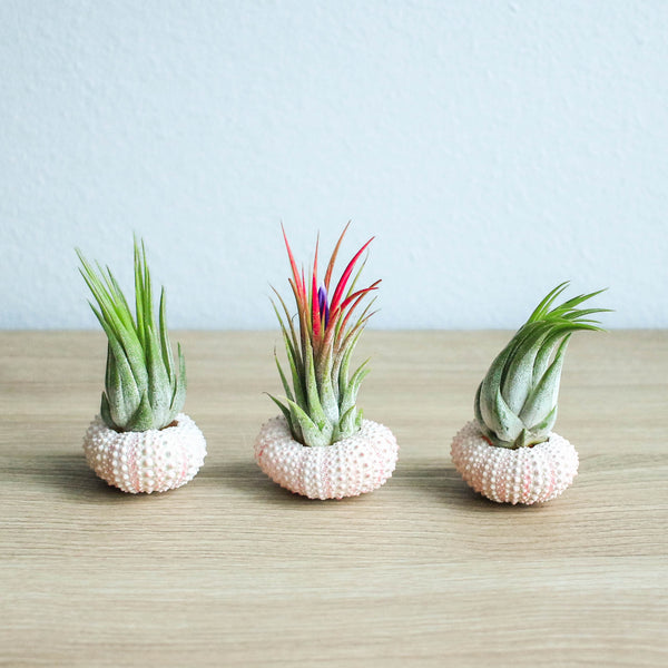 Wholesale - Pink Urchin Shells with Ionantha Air Plants