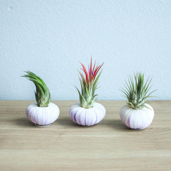 Gift Wrapped Purple Urchins with Air Plants