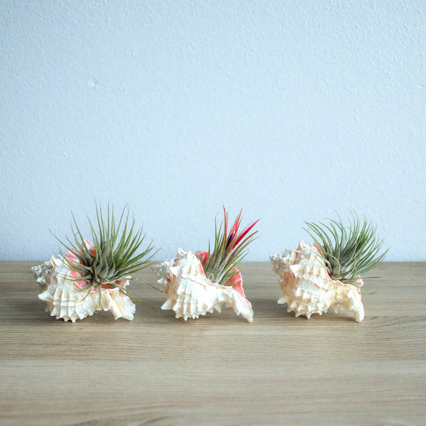 Wholesale - Pink Murex Seashell with Ionantha Air Plant