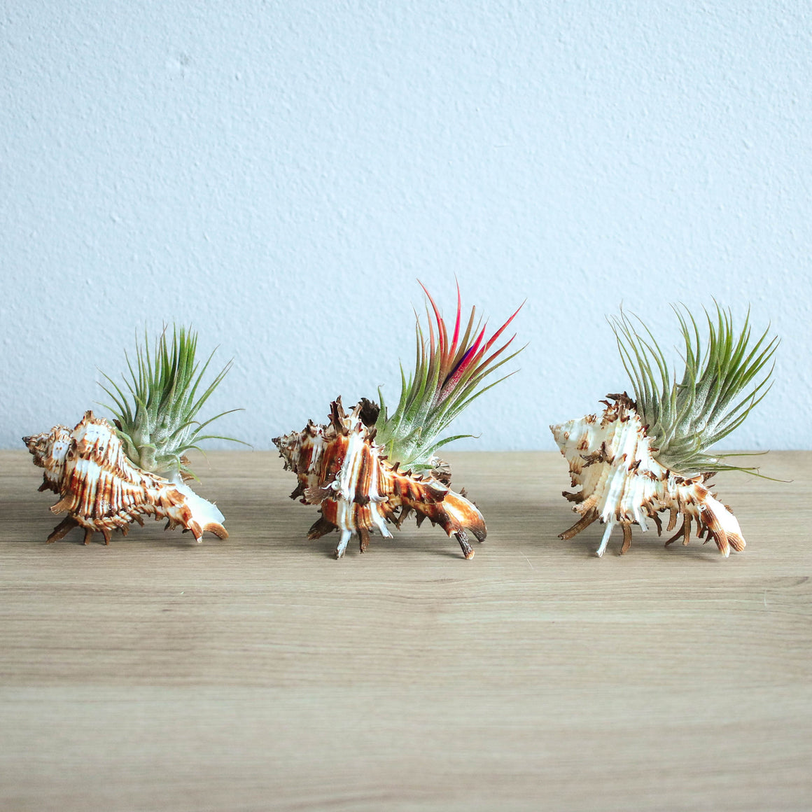 Longspine Murex Seashells with Ionantha Air Plants