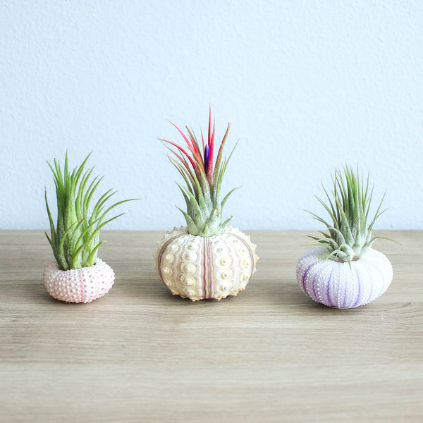 Collection of 3 Unique Urchins with Air Plants