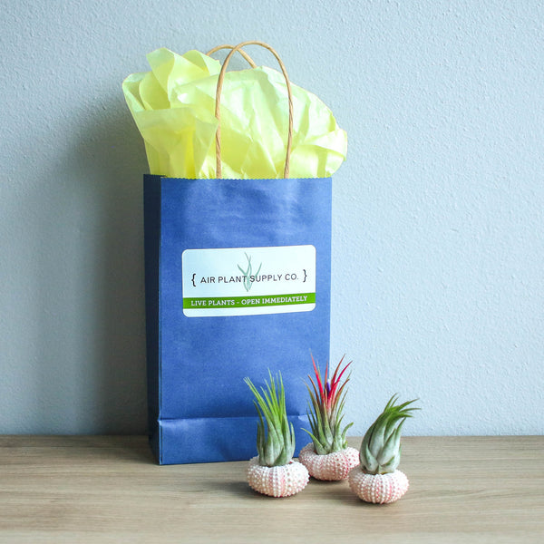 Gift Wrapped Pink Urchins with Air Plants