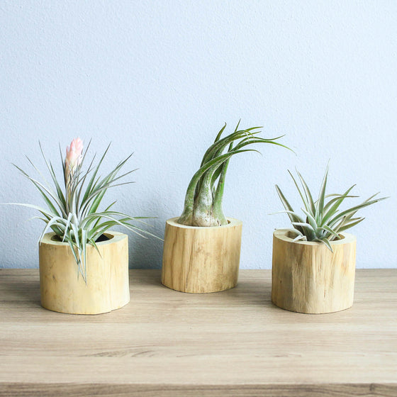 Set of 3 Modern Driftwood Containers with Custom Tillandsia Air Plants