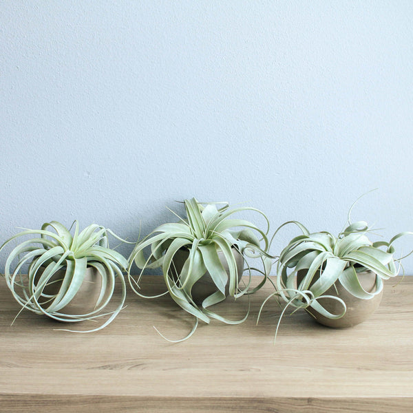 Set of 3 Charcoal Clay Containers with Custom Tillandsia Air Plants