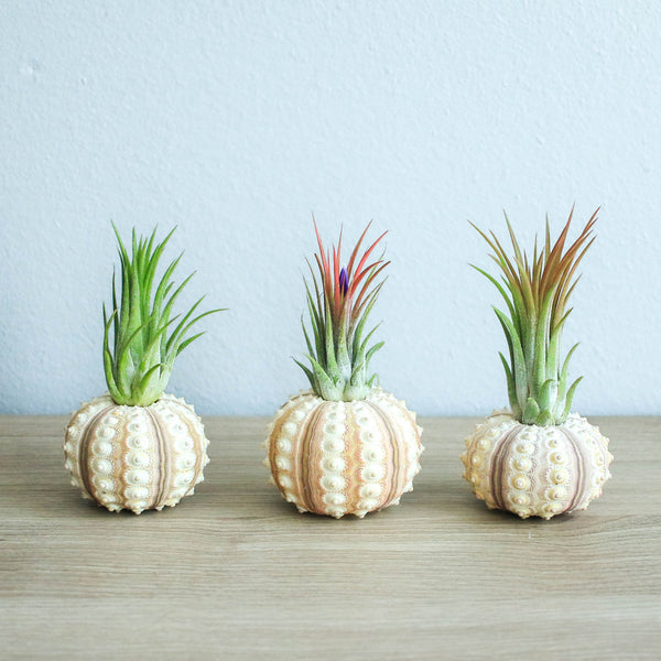Wholesale - Sputnik Urchins with Ionantha Air Plants