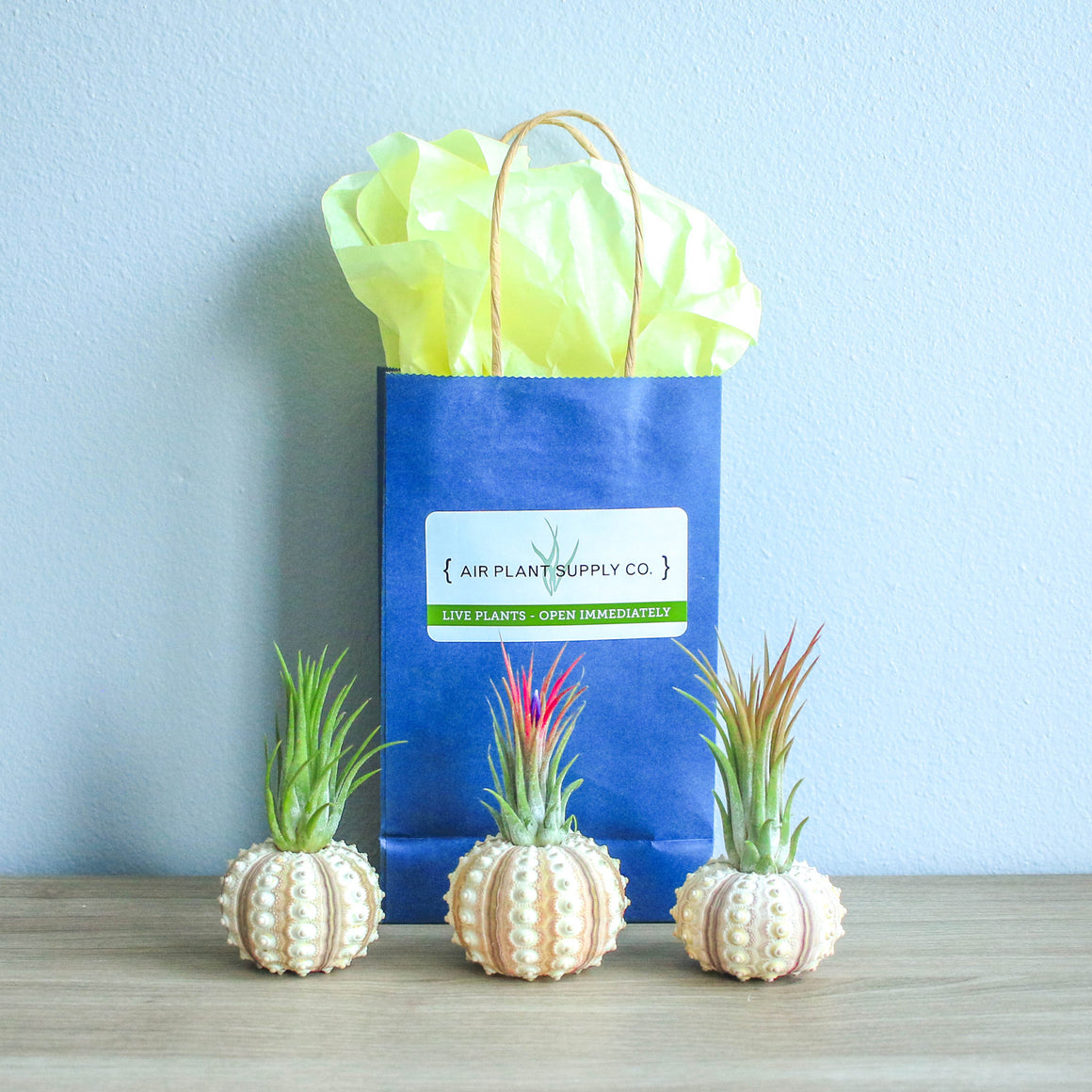 Gift Wrapped Sputnik Urchins with Air Plants
