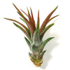 Large Velutina Air Plants / 5-8 Inch Plants