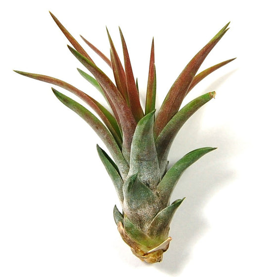 Wholesale - Large Tillandsia Velutina Air Plants / 5-8 Inch Plants