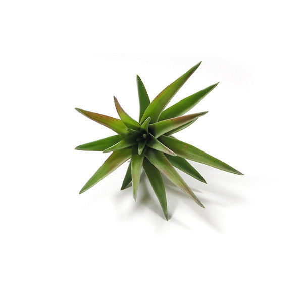Velutina Air Plants
