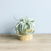 Set of 2 Modern Driftwood Containers with Custom Tillandsia Air Plants
